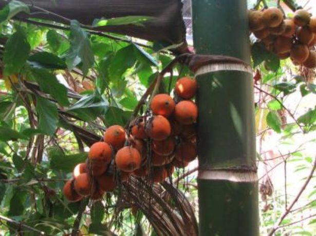 Плоды ареки