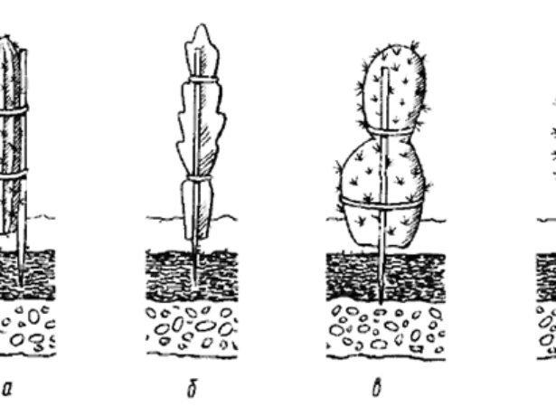 Посадка черенков кактусов