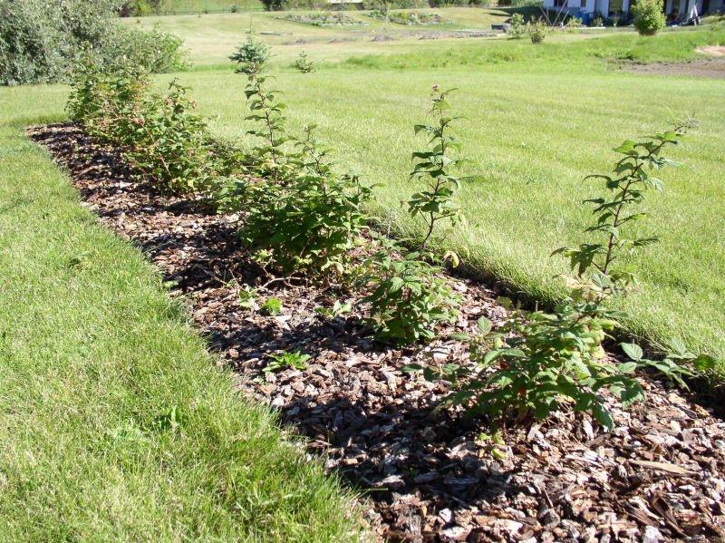 Сажать ягодные кустарники осенью 299