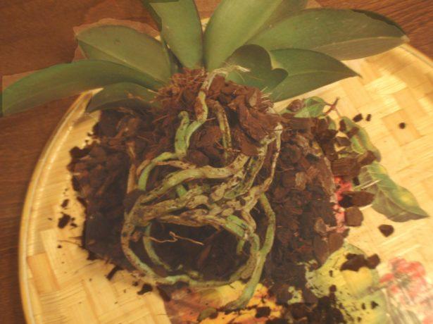 Замена субстрата орхидеи Фаленопсис