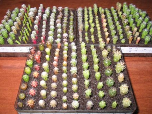 Распикированные кактусы