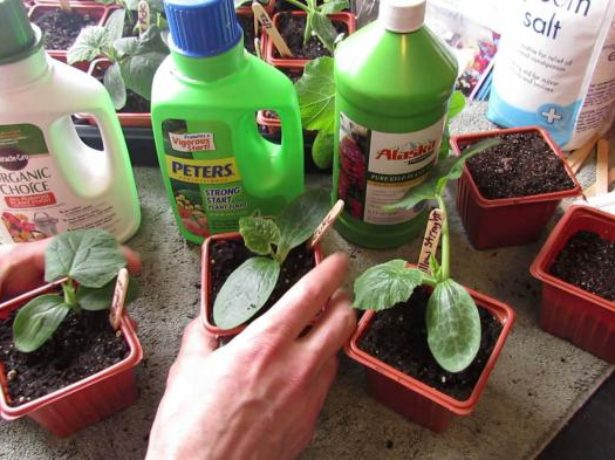 Удобрения для рассады огурцов