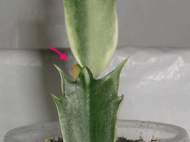 Растущий сегмент лесного кактуса