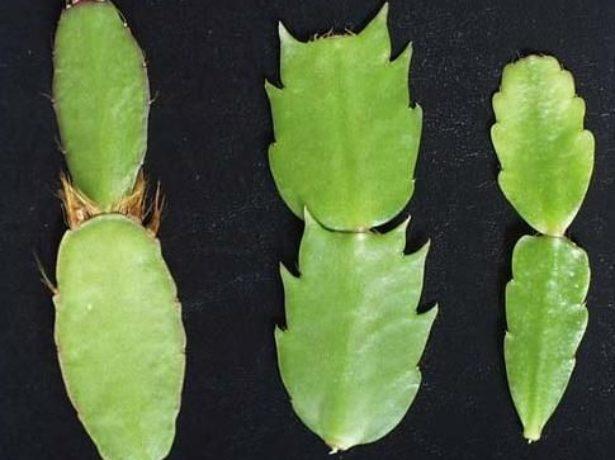 Сегменты лесных кактусов