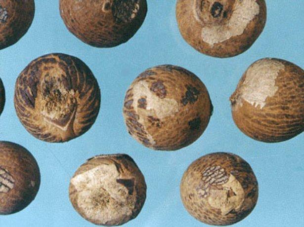 Семена ареки