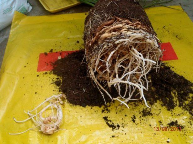 Осмотр и обрезка корней герани