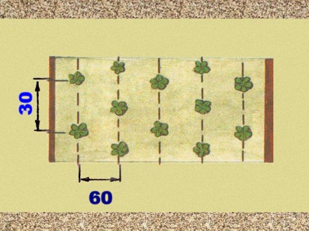 Схема посадки земляники Королева Елизавета