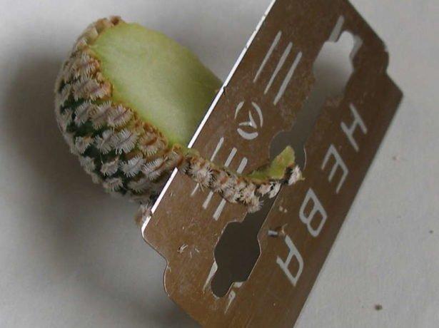 Скашиваем края на привое кактуса