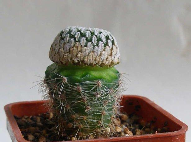 Совмещаем привой кактуса с подвоем