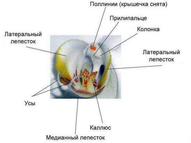 Строение цветка Фаленопсиса