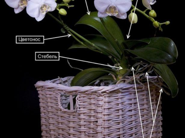 Строение орхидеи Фаленопсис