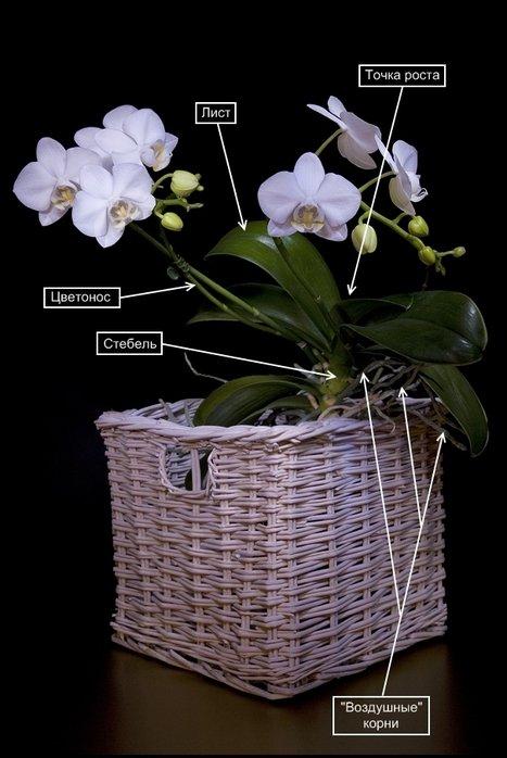Размножение орхидеи Фаленопсис 254