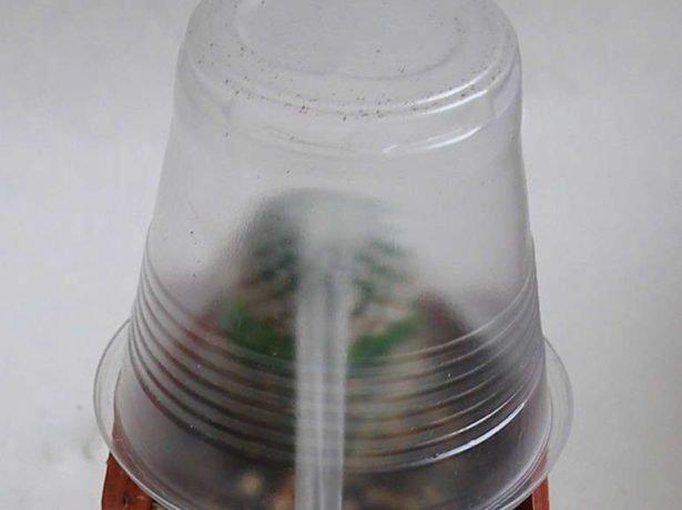 Тепличка для привитого кактуса