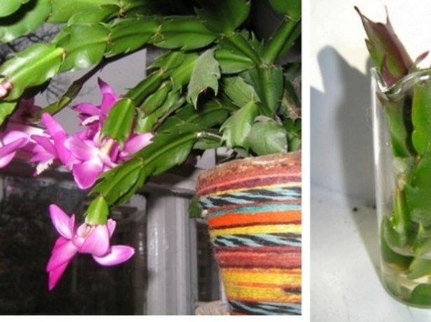 Укоренение черенков лесного кактуса в воде