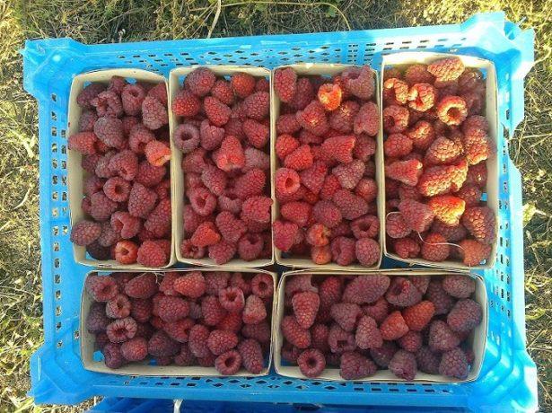 Урожай малины Карамельки