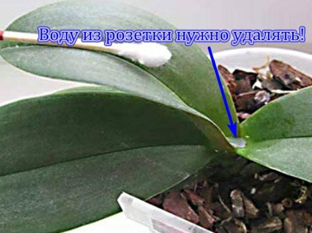 Вода в розетке листьев Фаленопсиса