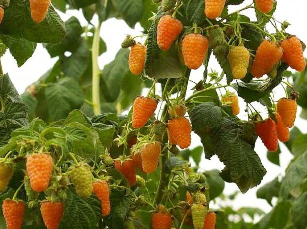 Ягоды на ветках малины Оранжевое чудо