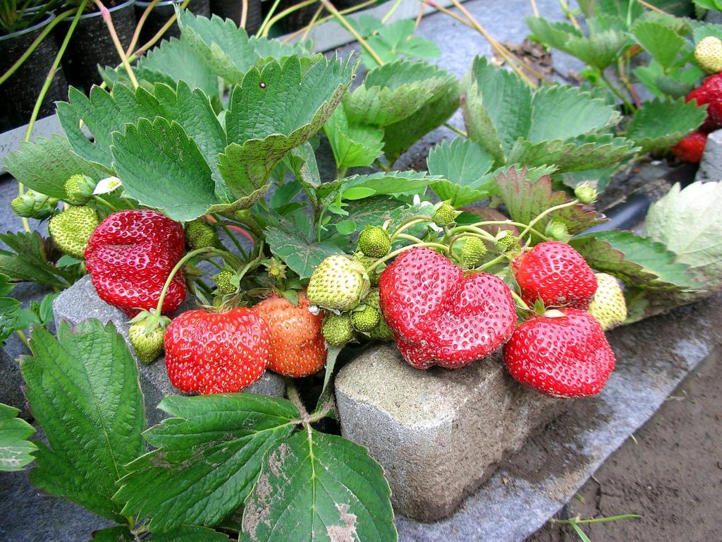 Виктория елизавета ягода фото