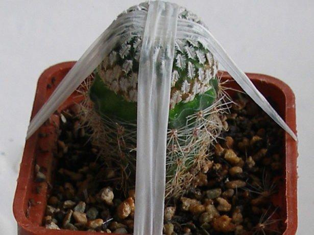 Закрепление привоя на кактусе