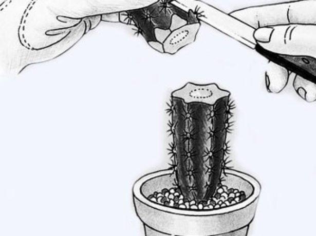 Заточка кактуса