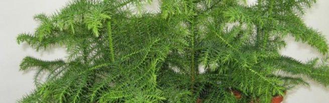 Араукария – зимой и летом одним цветом