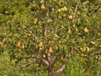 Груша сорта Августовская роса — выбор садовода