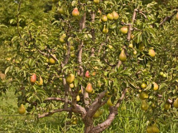 Внешний вид грушевого дерева