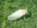 Белокрылка на листе