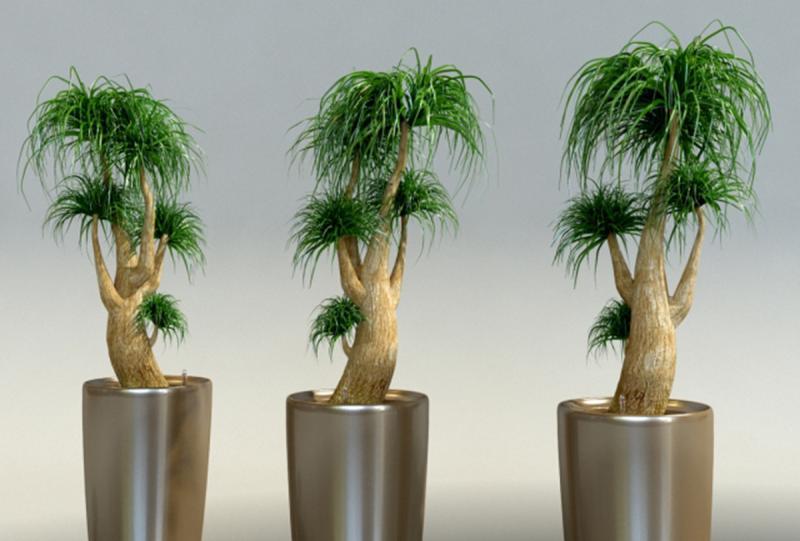 Цветок нолина (бокарнея): фото, уход, семена, размножение, пересадка. Бутылочное дерево нолина бокарнея: как купить, как ухаживать. Нолина рекурвата, бокарнея отогнутая.