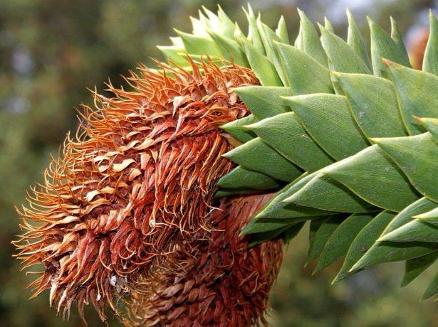 Цветение араукарии