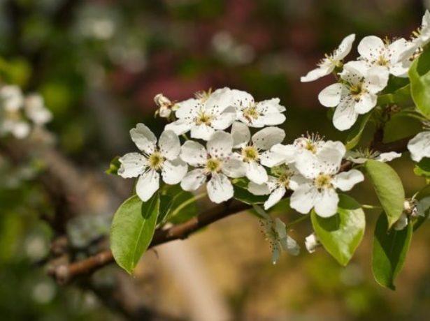 Цветение груши Августовская роса