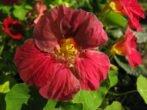 Сорт настурции Вишнёвая роза