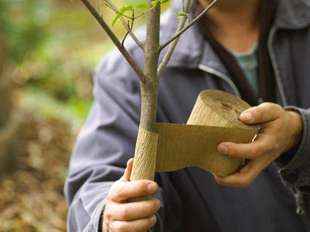Деревце обматывают бумагой