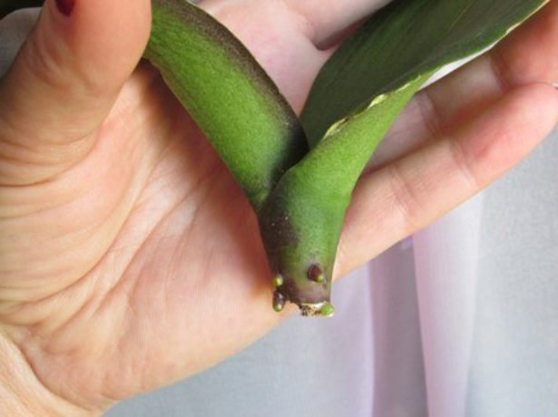 Корни на ростке орхидеи