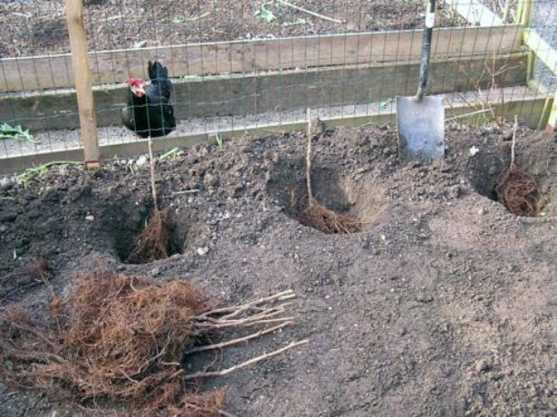 Лунки для посадки малины