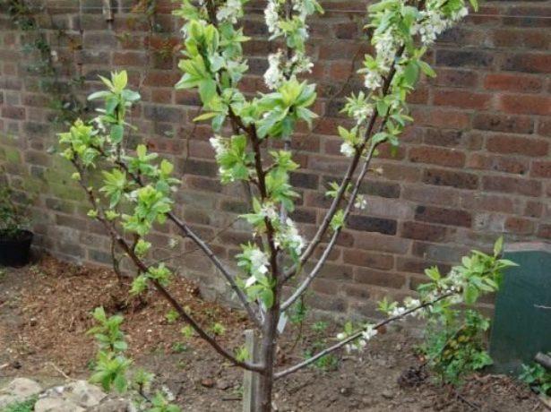 Молодое дерево сливы
