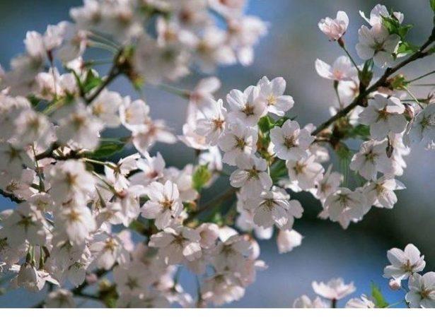 Цветение вишни Морозовка
