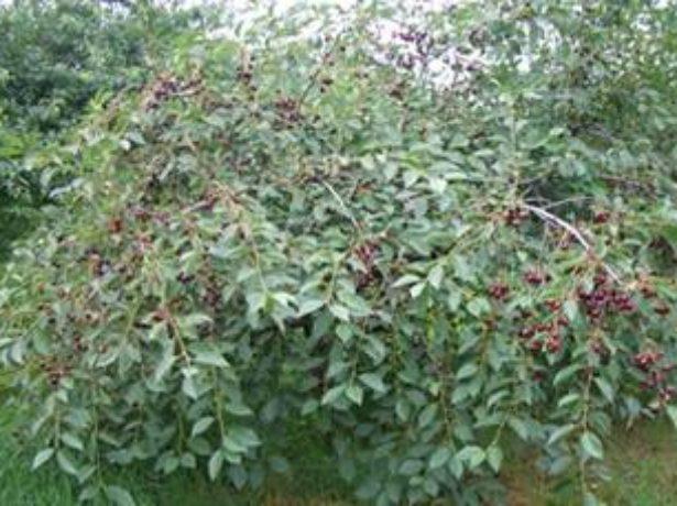 Дерево вишни Морозовка