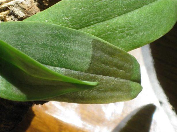 Отёки листьев Фаленопсиса