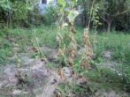 Паутинный клещ на огуречных кустах