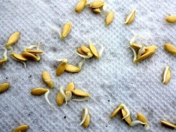 Когда замачивать семена огурцов на рассаду