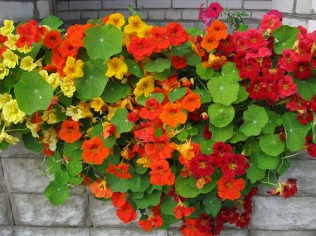 Настурция: выращивание из семян, посадка и уход на клумбе, б.