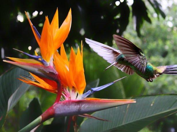 Стрелиция и колибри