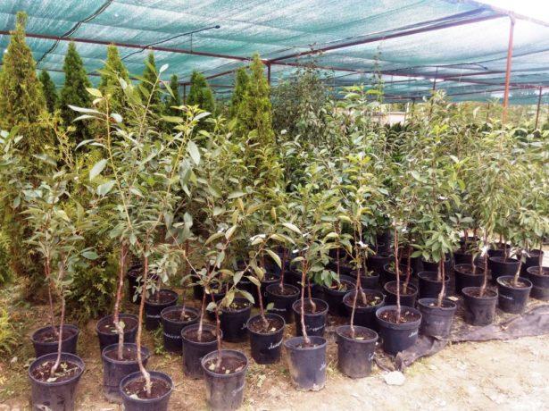 Саженцы деревьев