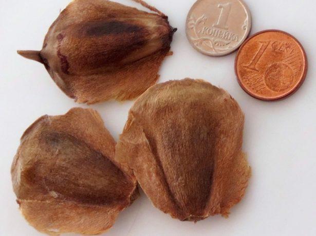 Семена араукарии
