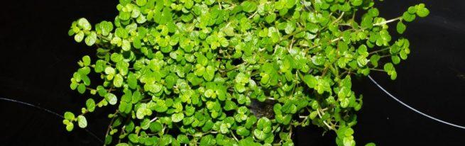 Солейролия: секреты выращивания и уход в домашних условиях
