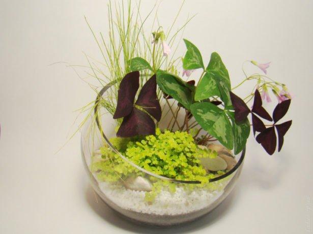 Солейролия во флорариуме