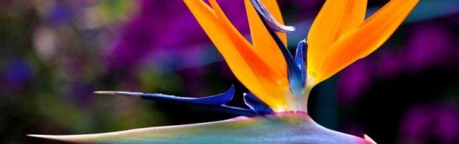 Как приманить цветочную райскую птицу: уход за стерлицией в домашних условиях