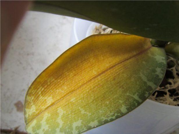 Сухой лист орхидеи