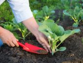 Высаживание рассады капусты